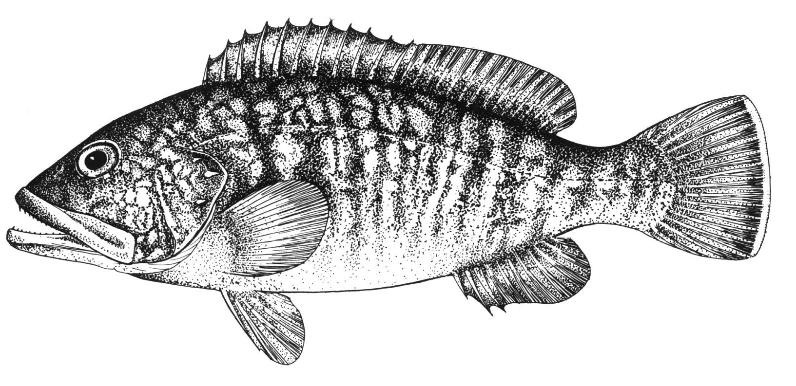 balik Epinephelus marginatus